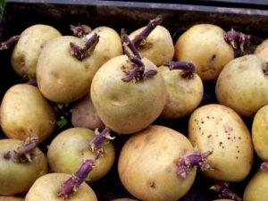 rostki kartofelja
