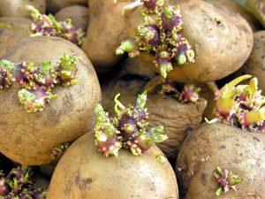 rostki kartofelnye