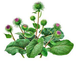 Можно лечить артроз листьями лопуха