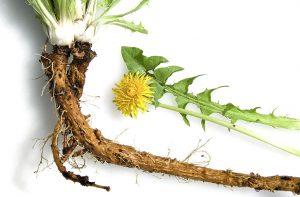 цветы корни листья одуванчика