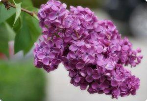 cvetki sireni
